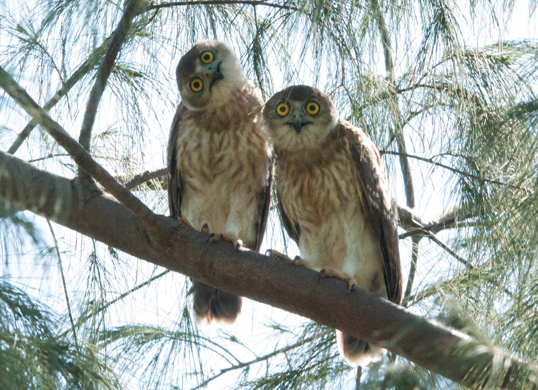 Who's looking at who?! Juvenile Barking Owls, photo taken by Helen Robinson at the Nightcliff foreshore