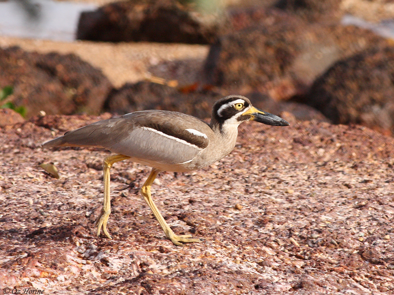Beach Stone-curlew at East Point rocks © Oz Horine