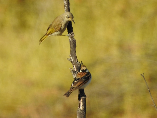 Brown Honeyeater and juvenile Banded Honeyeater facing off on the Escarpment Walk, near Victoria River Roadhouse