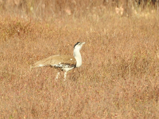 Two Australian Bustards were spotted by Trevor on the Katherine Gorge Road