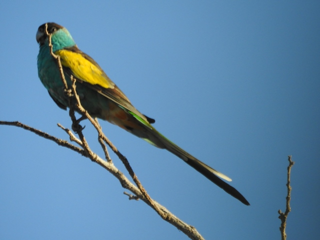 Hooded Parrot at Pine Creek, one of about 40 we eventually saw there