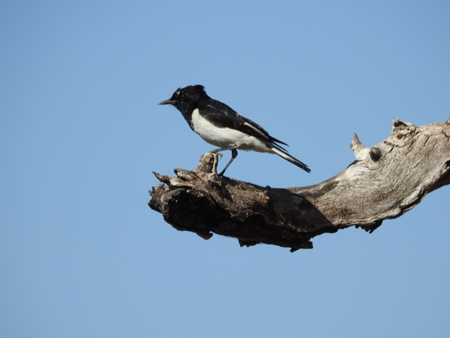 Male Hooded Robin at Dingo Springs, bothe male and female were present and posed boldly for photos in typical robin style
