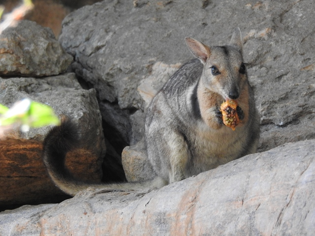 Wilkin's Rock Wallaby munching on a pandanus fruit at Ubirr