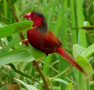 Crimson Finch near Darwin