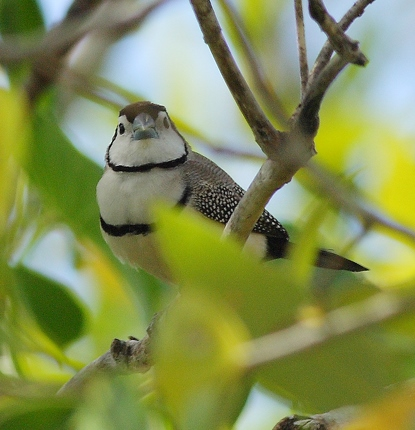 Double-barred Finch photo credit Oz Horine