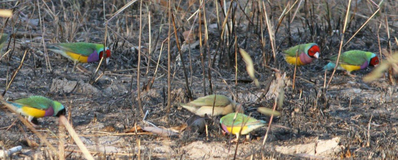 Gouldian Finches feeding in newly burnt stubble on the track to Bird Billabong © Barry Lancaster