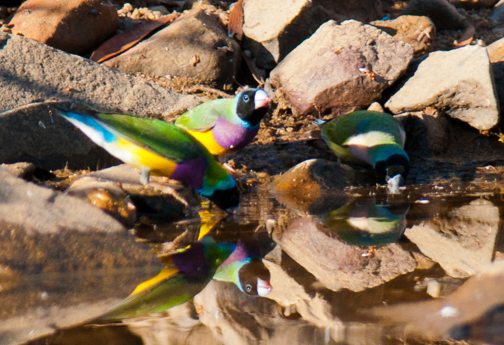 Gouldians drinking photo credit Frank Taylor