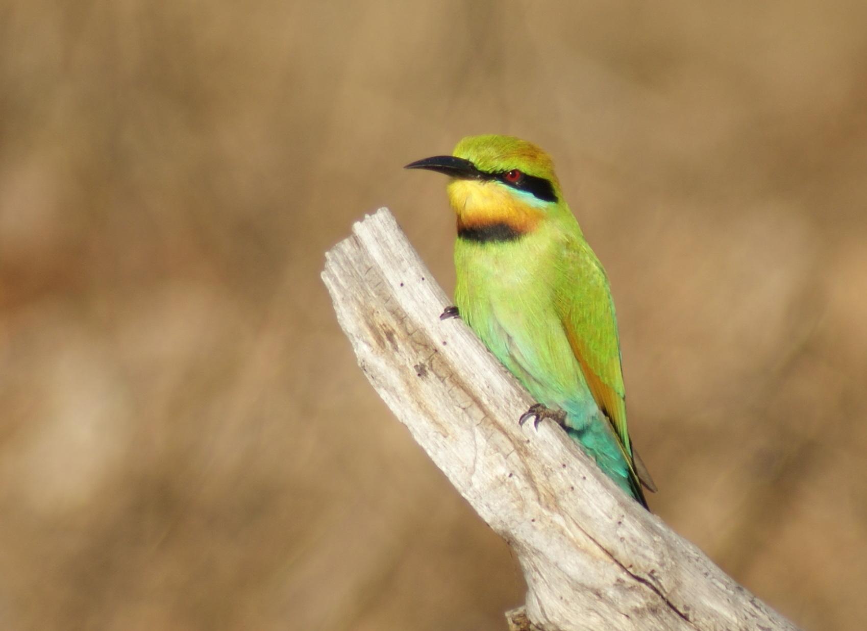 Rainbow Bee-eater at Knuckey Lagoons