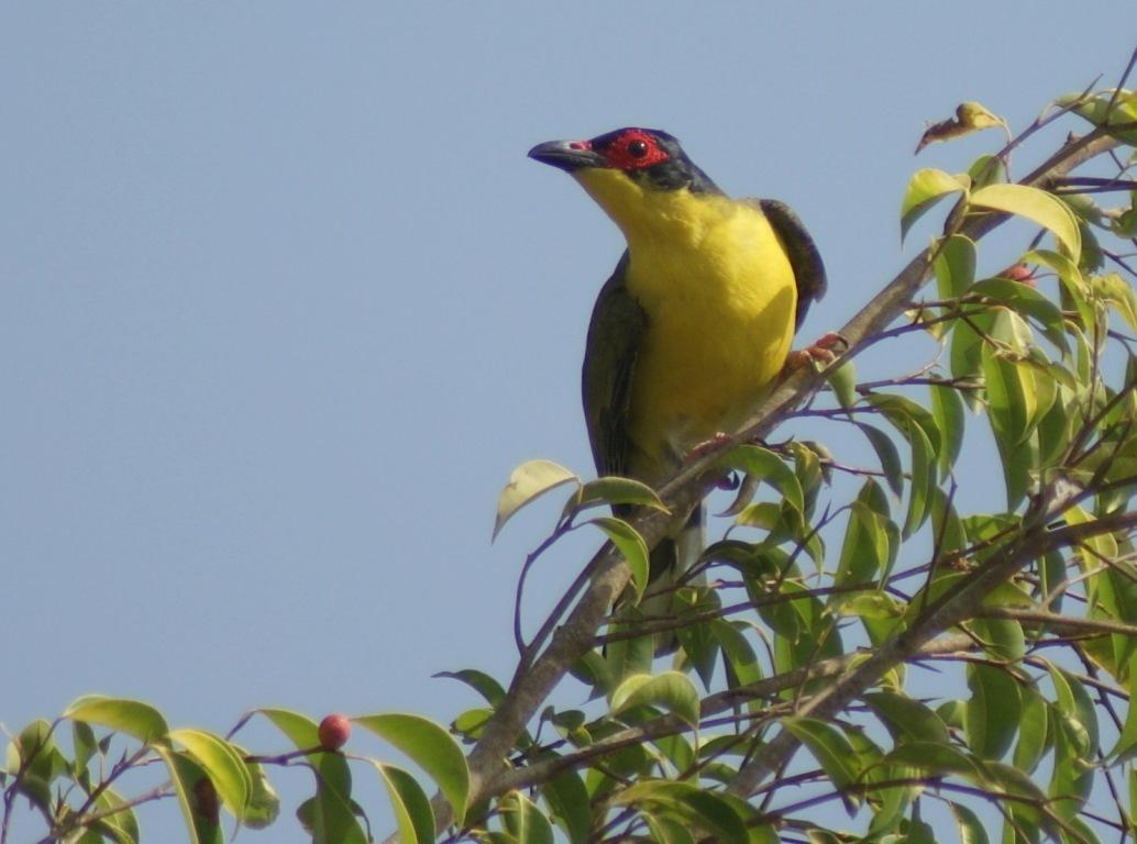 Male Australasian Figbird at Knuckey Lagoons