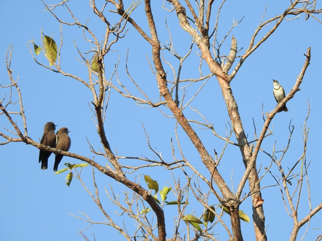 Little Woodswallows questioning a Banded Honeyeaters right to share their tree!!