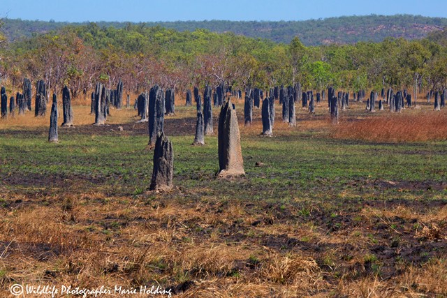 Magnetic Termite mounds, Litchfield National Park © Marie Holding