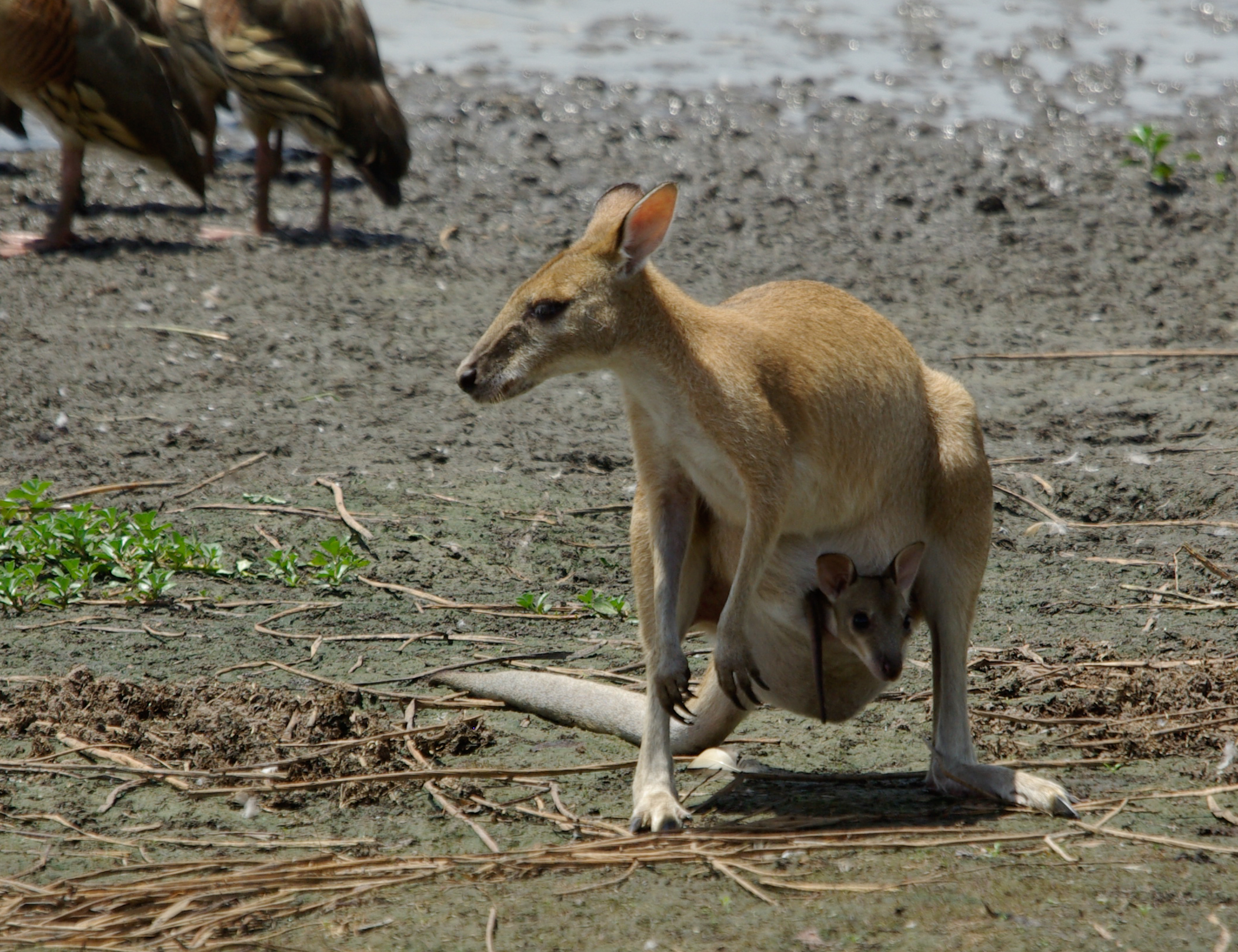 Agile Wallabies risk being taken by Estuarine Crocodiles when they come down to drink at Mamukala © Barry Robinson