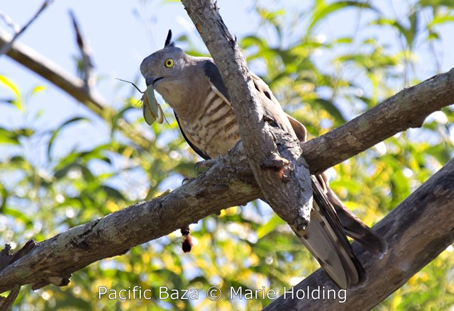 Pacific Baza near Cahill's Crossing on the East Alligator River, Kakadu © Marie Holding