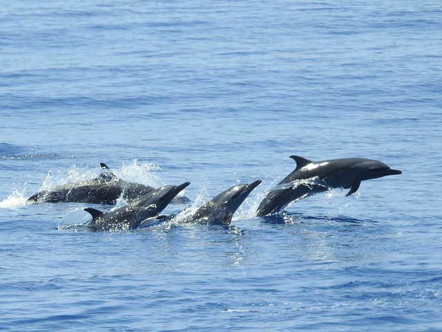 Pan-tropical Spotted Dolphins
