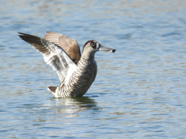Pink-eared Duck at Pine Creek Sewerage Ponds