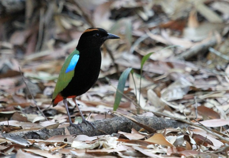 Rainbow Pitta at Howard Springs © Julian Teh