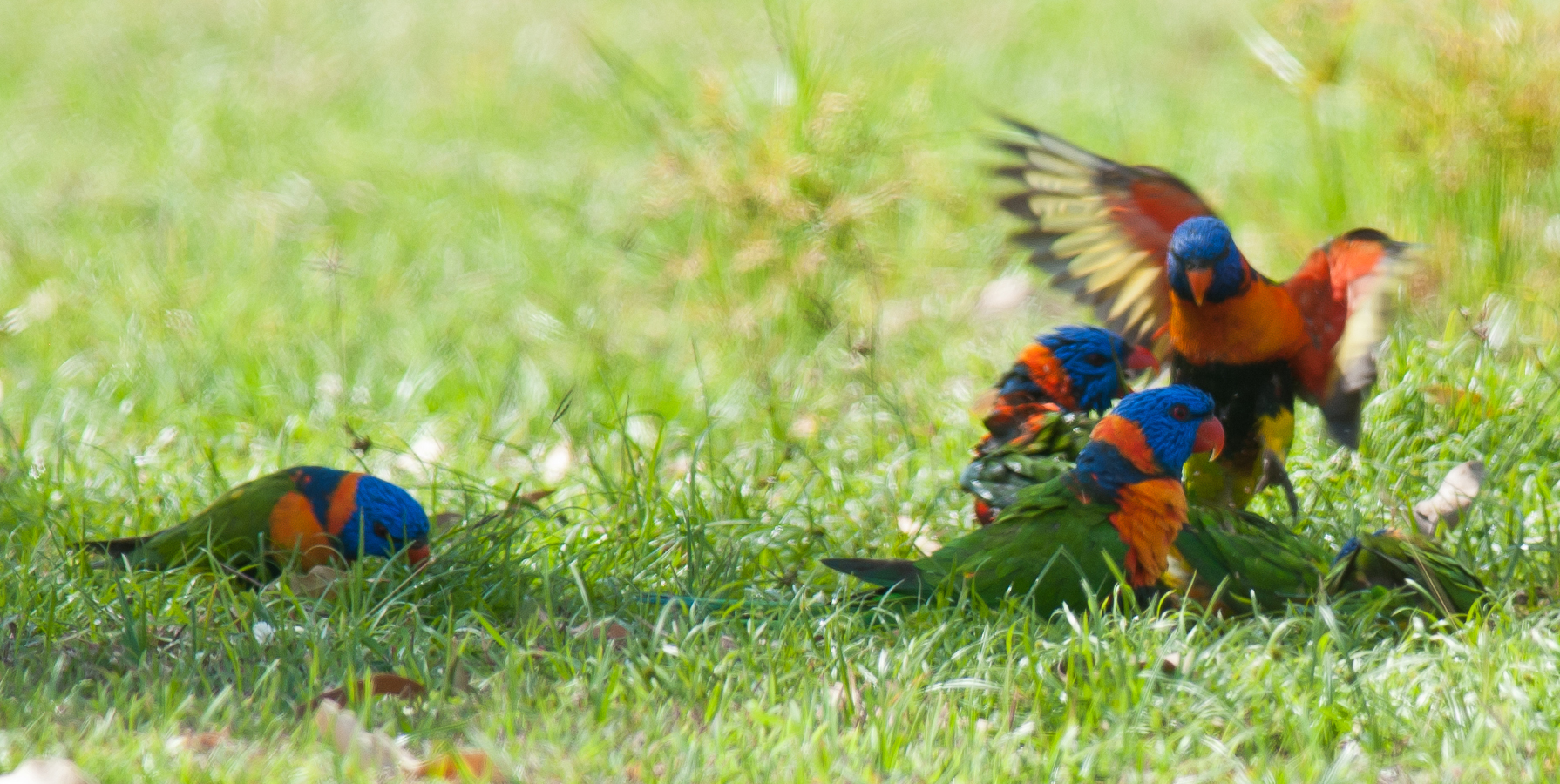 Red-collared Lorikeets on the Pine Creek oval © Frank Taylor