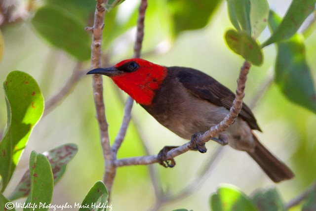 Male Red-headed Honeyeater at the East Point mangrove boardwalk © Marie Holding