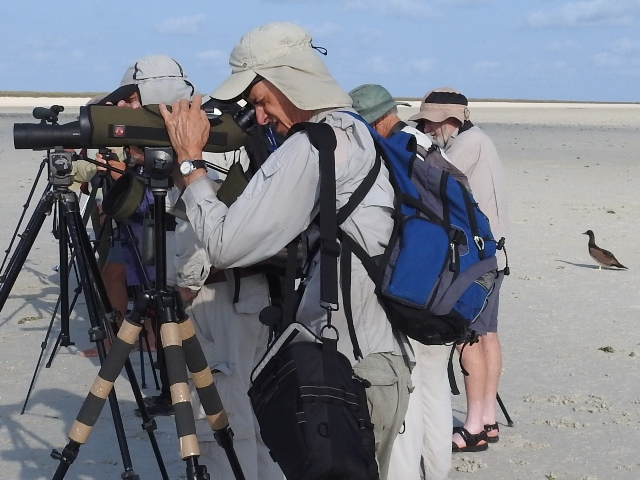 Curious Brown Booby joins the wader paparazzi