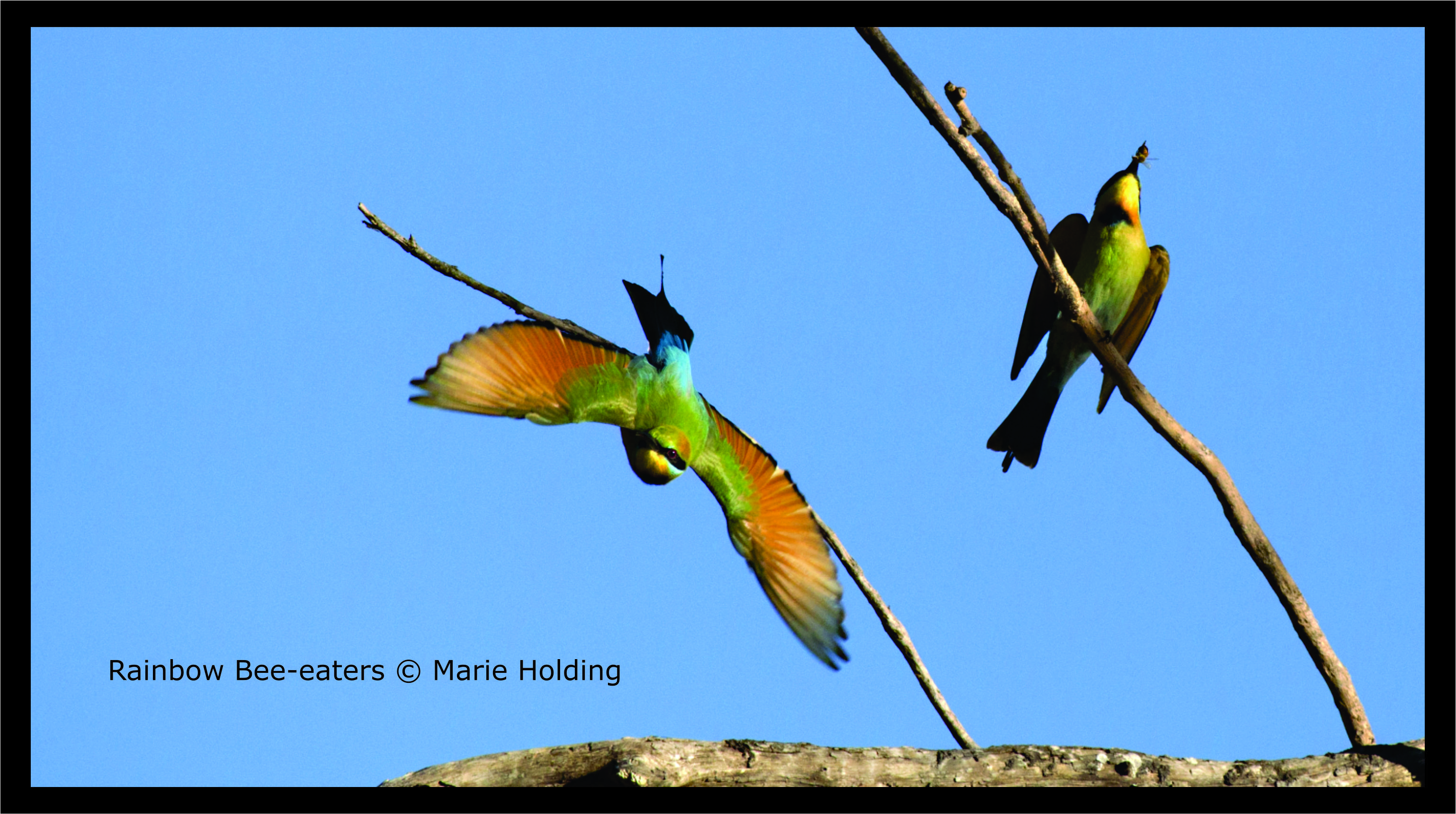 Rainbow Bee-eaters © Marie Holding