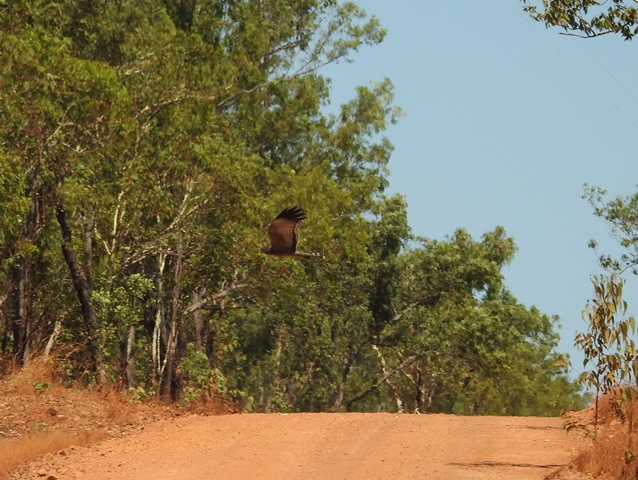 Spotted Harrier crossing the Marrakai track