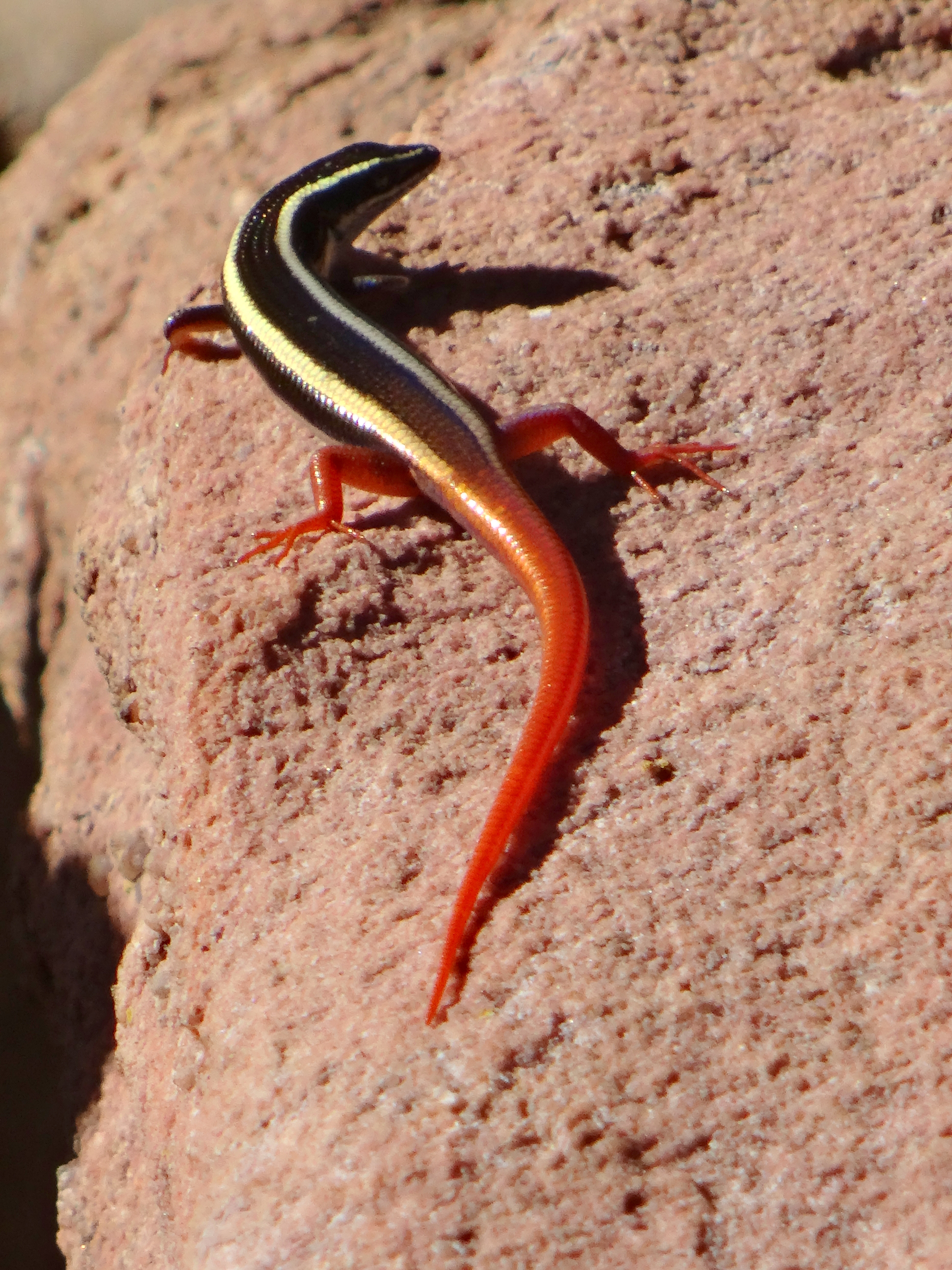 Watch out for Top End Firetail Skinks on the stone steps leading away from the Gunwarddewardde Lookout