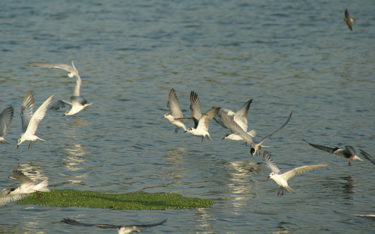 White-winged Black Terns and Whiskered Terns at Palmy Ponds