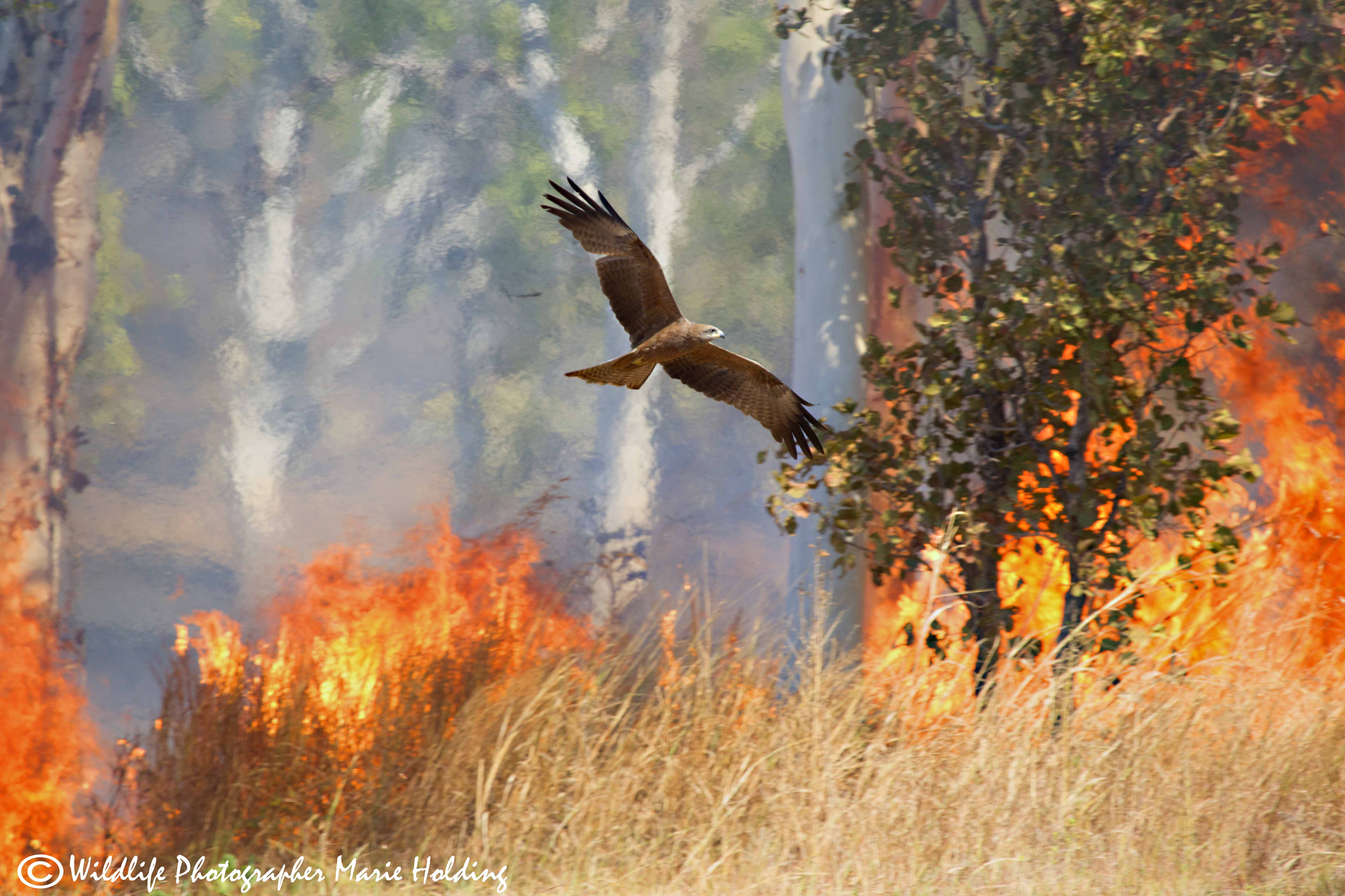 Whistling Kite flying through the flames on Kakadu Highway near the Gunlom turnoff © Marie Holding